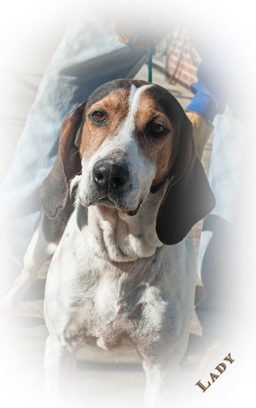 LADY - Female HoundApprox. 8-10 years